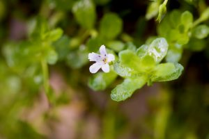 All About Bacopa: Nature's Nootropic
